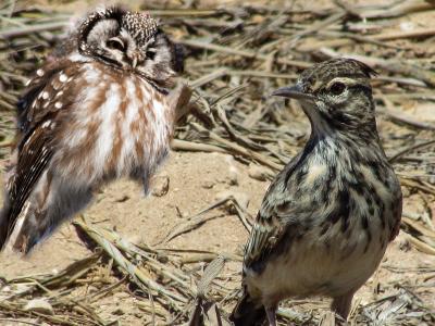 earlybird_owl